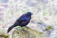 Black carib grackle on stone at coast