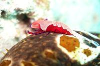 Imperator-Garnele (Zenopontonia rex) auf einer Augenfleck-Seewalze ( Bohadschia argus)
