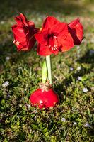 Red Matterhorn Amaryllis Hippeastrum flower