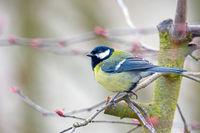 Great Tit bird sitting on a tree branch