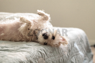 Napping white west highland terrier dog