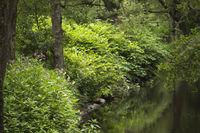Drüsiges Springkraut, Indisches, Springkraut, Impatiens glandulifera, Glandular balsam,