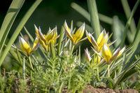Mehrere kleine Stern Tulpen wachsen zwischen grünem Gras aus der Froschperspektive aufgenommen