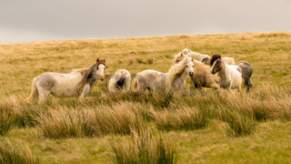 Wild horses in Wales