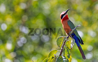 Weißstirnspint, South Luangwa Nationalpark, Sambia, (Merops bullockoides)  |  White-fronted Bee-eater, South Luangwa NP, Zambia, (Merops bullockoides)