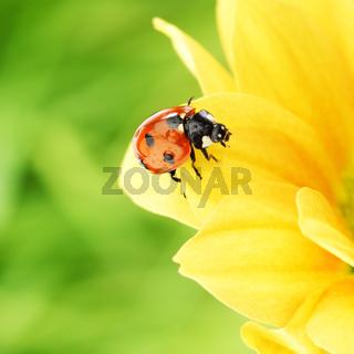 ladybug on yellow flower  macro close up