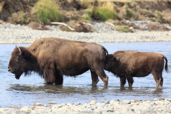 Bueffel im Yellowstone NP