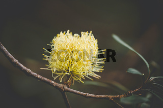 Australian native flowering in spring