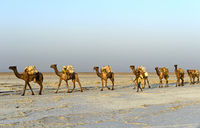 Männer der Afar Nomaden führen Dromedar-Karawane über den Assale Salzsee, Äthiopien