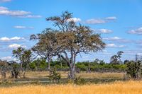 Moremi game reserve landscape, Africa wilderness