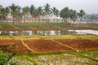 Rice growing in India