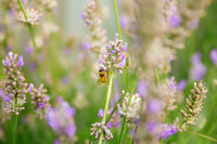Bee pollination in a lavender field in summer. Garden, nature and herbal concept.