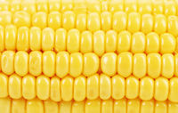 Background of indian corn. Close up.