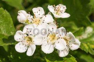 Blüten des Zweigriffeligen Weißdorns