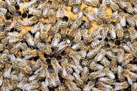 Bienenvolk auf Wabe mit Königin