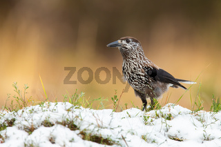 Little spotted nutcracker standing on grass in winter.