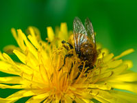 Bee pollinating on a dandelion blossom