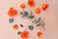 High angle view of orange roses and leaves on pink background