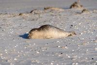 Seehund am Strand von Amrum