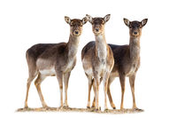 Three fallow deer does standing on grass isolated on white background.
