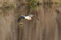 goosander flying above a lake germany