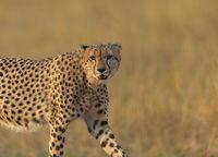 Cheetah closeup looking at camera, Acinonyx jubatus, Maasai Mara National Reserve, Kenya, Africa