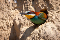 European bee-eater peeking from a nesting hole in the ground inside colony