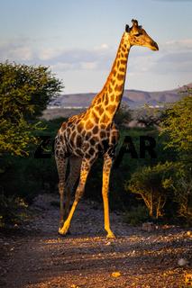 Angola-Giraffe (Giraffa camelopardalis angolensis) in Namibia