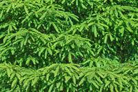 spruce tree background