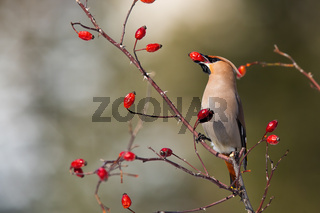 Solitary bohemian waxwing feeding on rosehip bush eating red berries