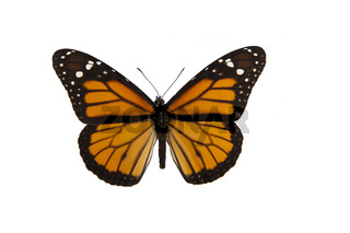 Orange monarch butterfly with spread wings isolated on a white background