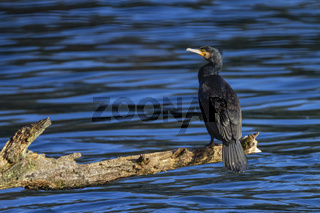 Great cormorant, Phalacrocorax carbo, standing peacefully on a branch