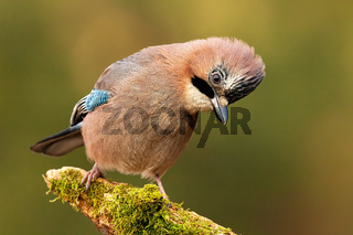 Attentive jay sitting on a perch a looking to camera