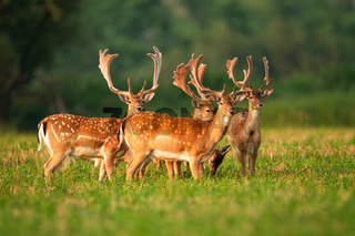 Numerous herd of fallow deer stags standing and watching on agricultural field