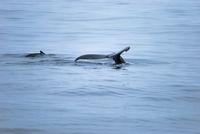 Buckelwale, Südpolarmeer