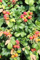 Bush of plump ripening red rosehips