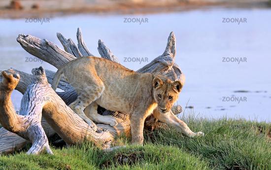 Loewe, Etosha-Nationalpark, Namibia, (Panthera leo) | lion, Etosha NP, Namibia