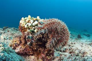 Panama-Dornenkrone im Riff, Mexiko