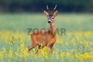 Dominant roe deer buck from front view on a meadow with flowers