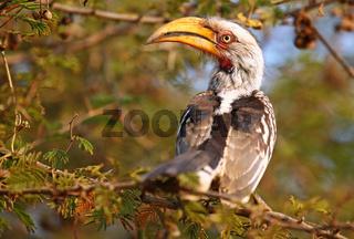 Gelbschnabeltoko im Sonnenlicht, Kruger Nationalpark, southern yellow-billed hornbill, Tockus leucomelas, Südafrika