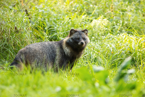 Wild raccoon dog standing in front of tall green vegetation in summer