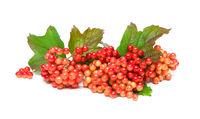 viburnum berries isolated on white background