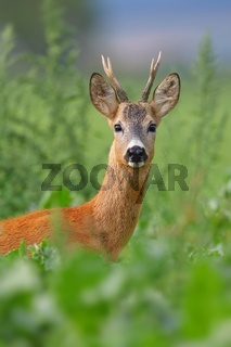 Alert roe deer buck looking through tall vegetation on green meadow in summer