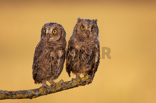 Surprised eurasian scops owl chicks resting on a twig in spring nature.
