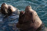 Wild Steller Sea Lion Eumetopias Jubatus with open mouth swims in cold waves Pacific Ocean