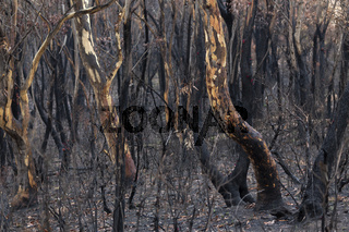 Australian bush fires burnt landscape of trees