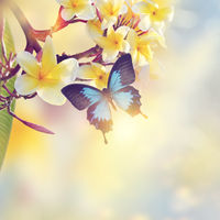 Blue Tropical Butterfly on yellow flowers