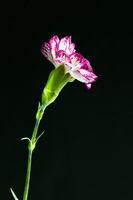 Close shot of carnation over dark background