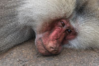 Head of a lying baboon Papio cynocephalus