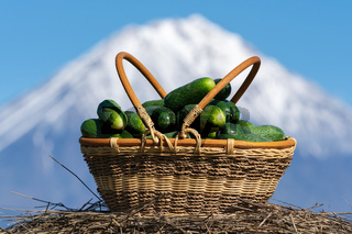 Freshly picked organic cucumbers in yellow wicker basket on background of cone volcano and blue sky in sunny weather. Freshly Summer healthy eco vegetables on agricultural farm.